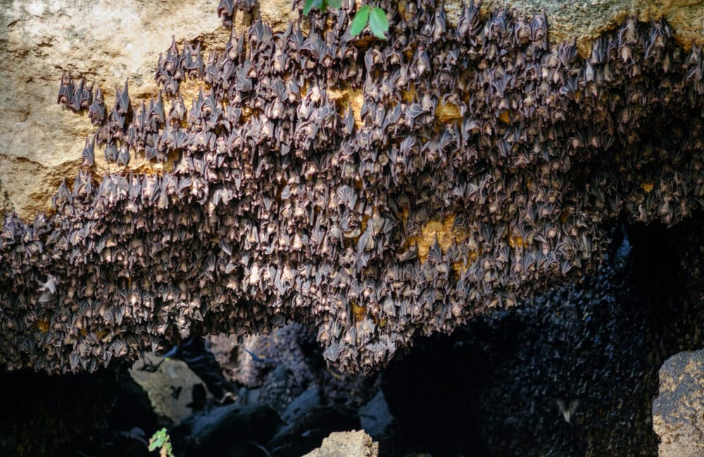 A Bat Colony