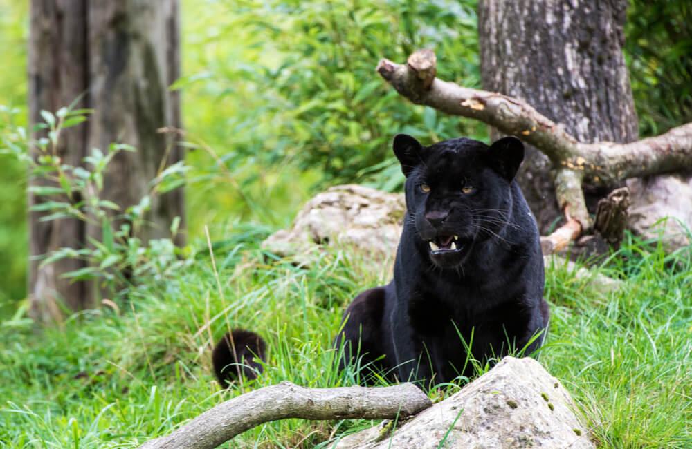 Two Black Jaguars